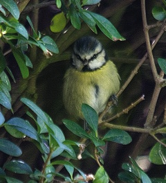 Blue tit in privet hedge