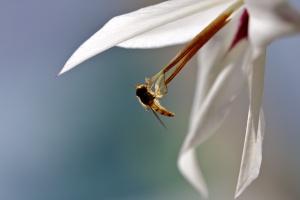 Hoverfly drinking Gladiolus Callianthus nectar