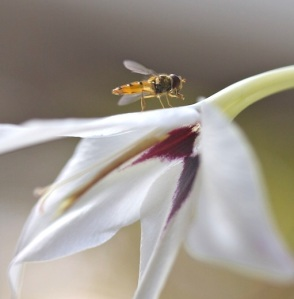 Hoverfly resting on Gladiolus Callianthus