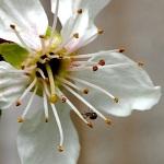Spider on plum blossom