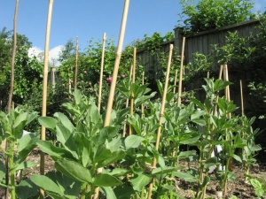 Broad beans growing well
