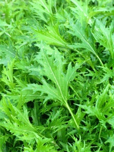 Mizuna, used in salads and stir fries
