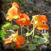Nasturtiums © Pintail
