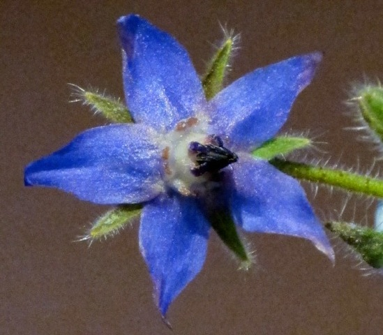 Borage flower, close up © Pintail Media Version 2