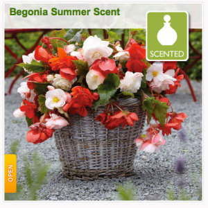 Scented begonias from Gardening Direct