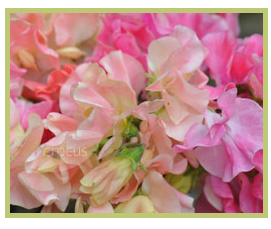 Fabulous sweet peas from Crocus