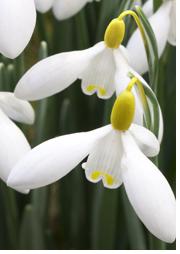 Galanthus woronowii 'Elizabeth Harrison'