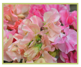 Spencer sweet peas from Crocus