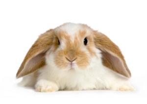 Lop Rabbit - www.apbc.org.uk