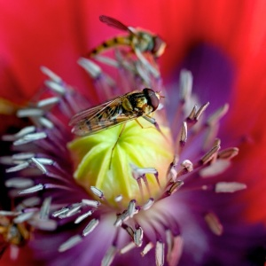 Hoverflies eating pollen on a poppy