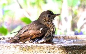Song thrush bathing