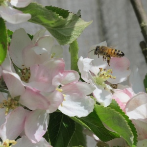 Honey bee collecting pollen on apple blossom