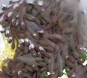 Frog tadpoles