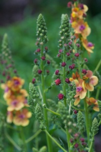 Verbascum Clementine flowering in May 2012