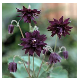 Miss M I Huish, aquilegia vulgaris