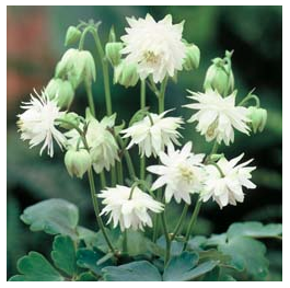 Green Apples, aquilegia vulgaris