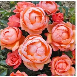 lady marmalade rose