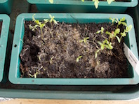 Tagetes to go in the kitchen garden as a pest attractor, sadly has to go to the bin